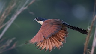 - Blue-headed Coucal