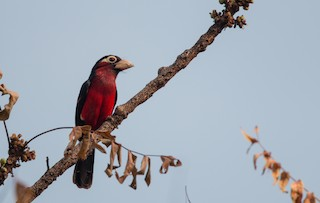 - Double-toothed Barbet