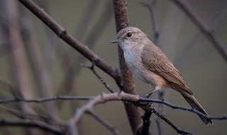 - Pale Flycatcher