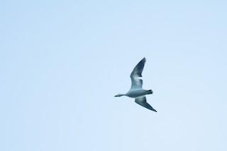 Snow Goose, ML345574721