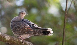 - Dusky Turtle-Dove