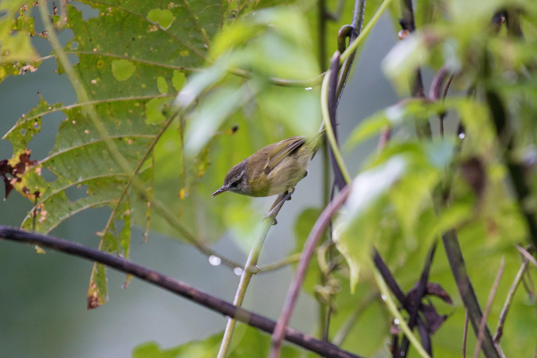 Makira Leaf Warbler - John C. Mittermeier
