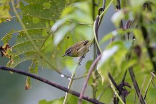 - Makira Leaf Warbler