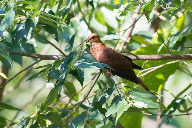 Mackinlay's Cuckoo-Dove