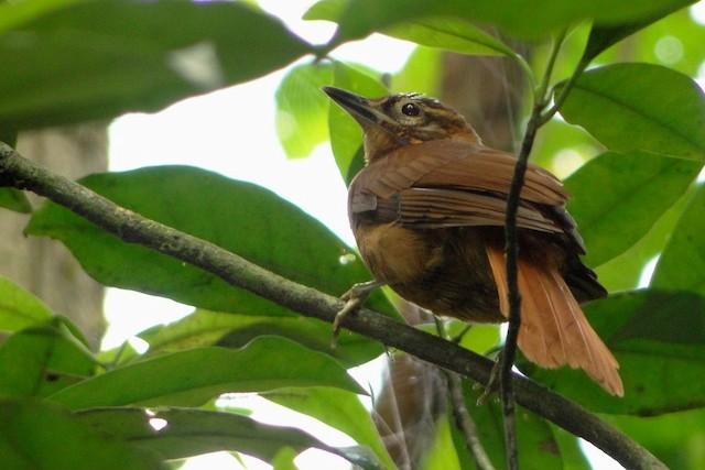 Alagoas Foliage-gleaner