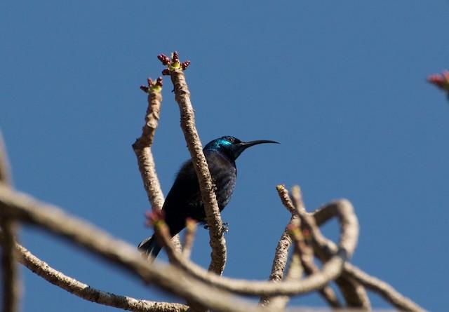 Madagascar Sunbird