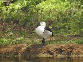 Knob-billed Duck, ML345936001