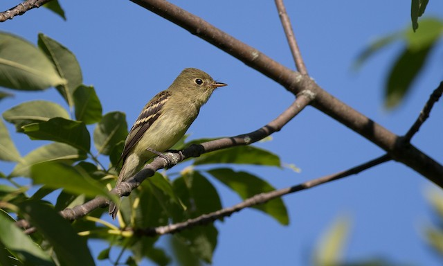 Yellow-bellied Flycatcher