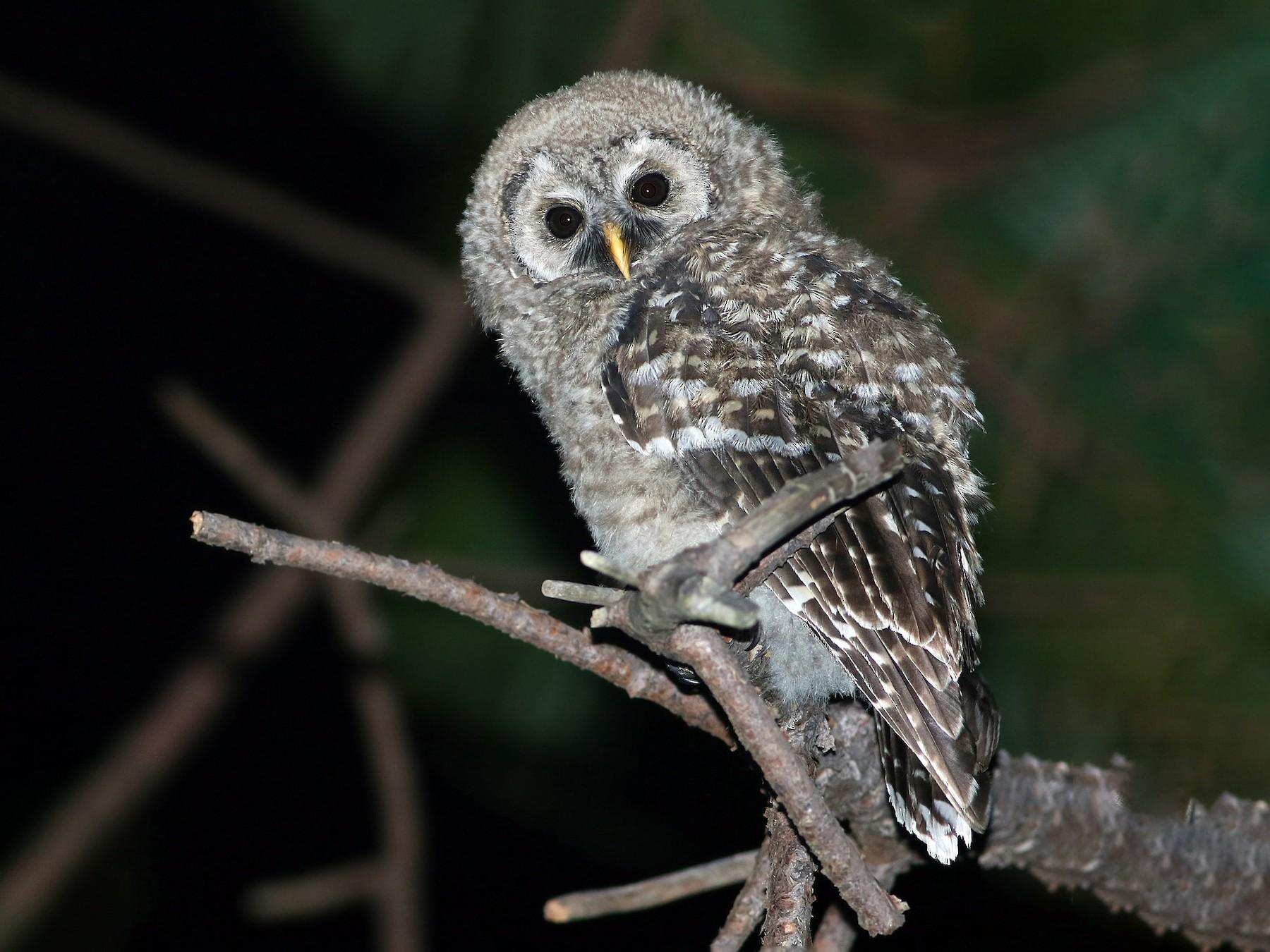 Cinereous Owl - Andrew Spencer