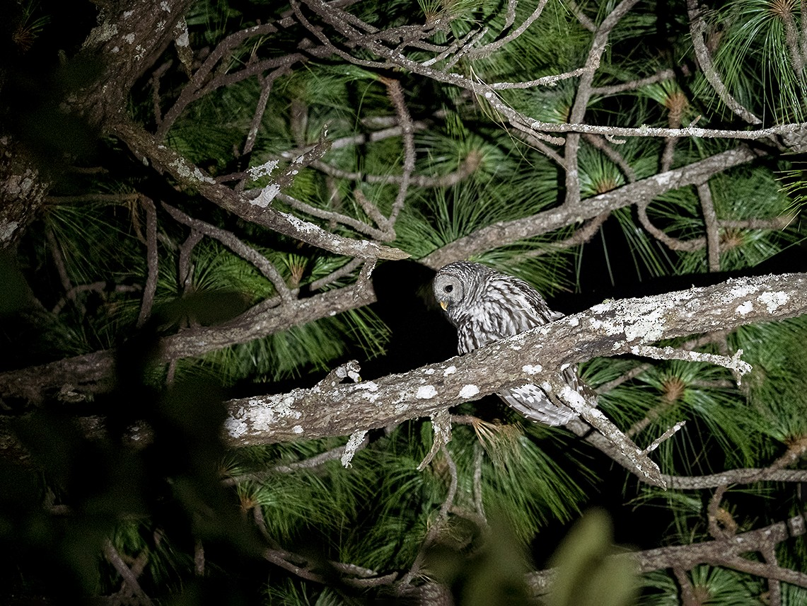 Cinereous Owl - Daniel  Garza Tobón