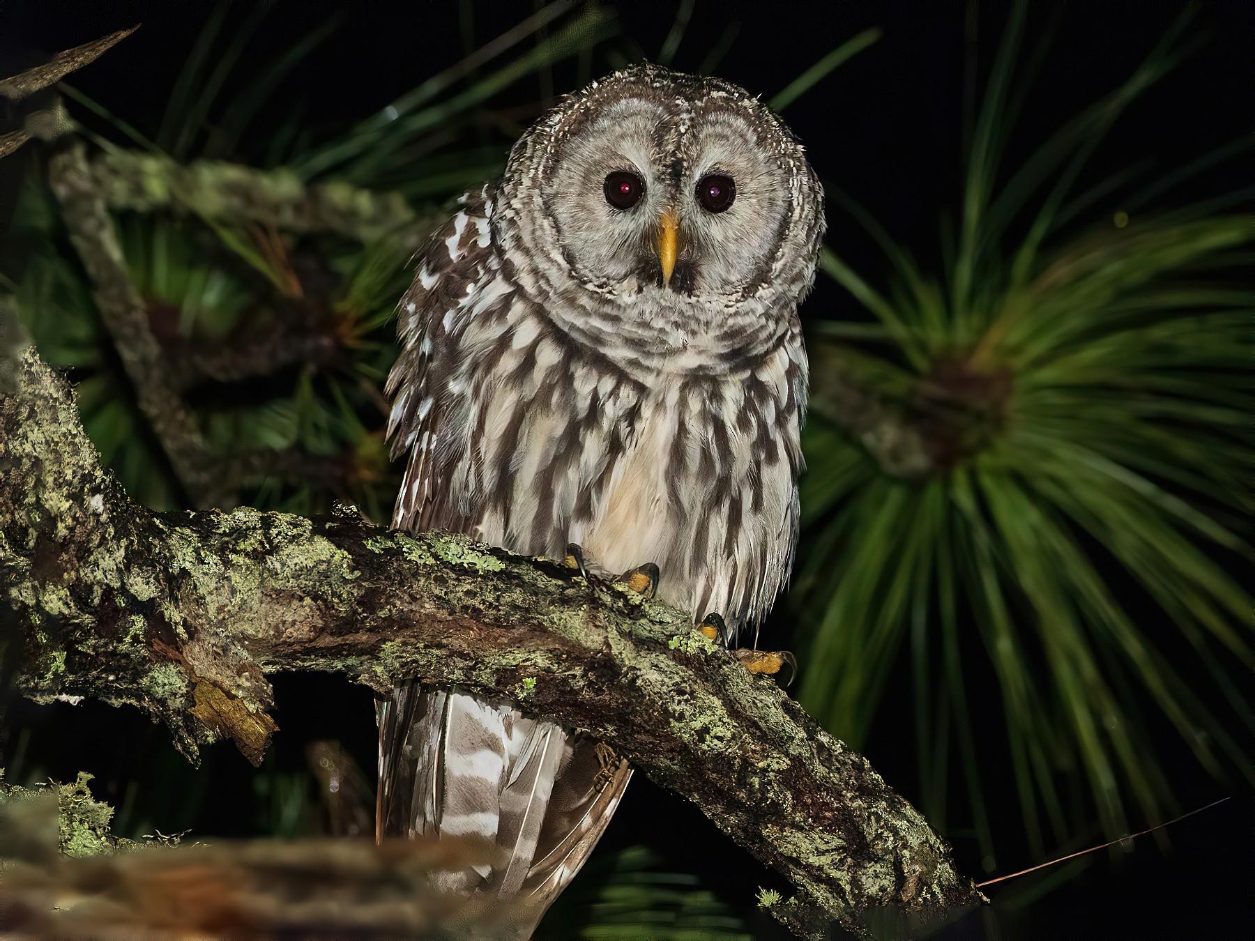 Cinereous Owl - Antonio Robles