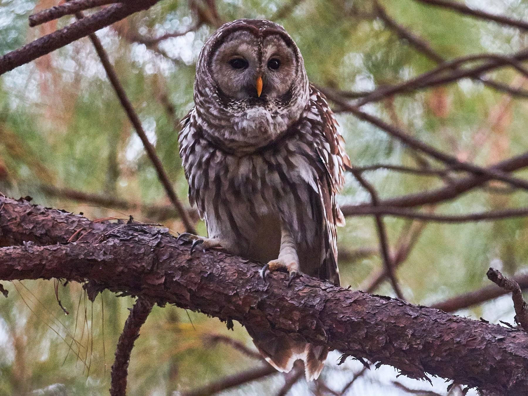 Cinereous Owl - Mark Stackhouse