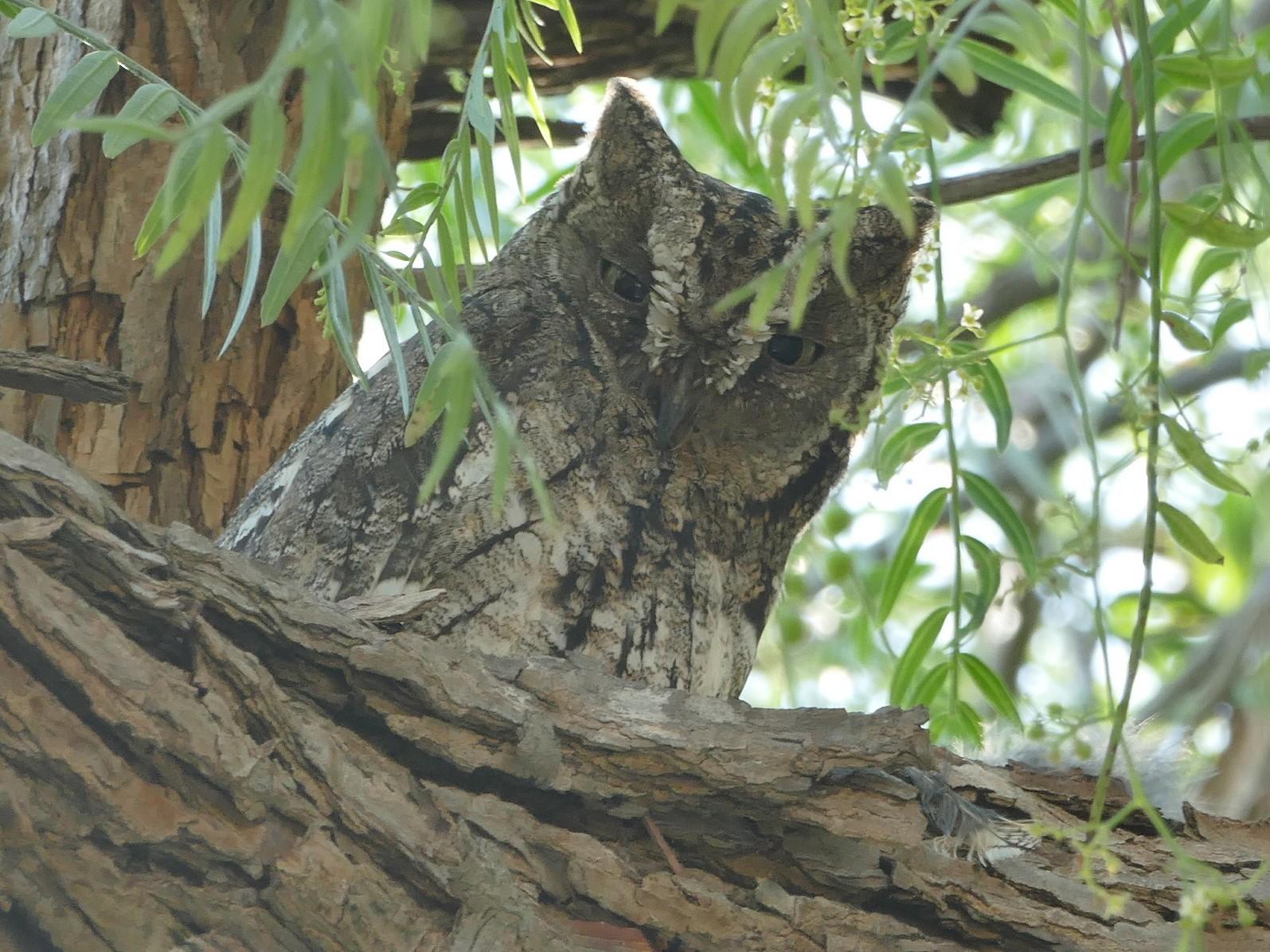 Cyprus Scops-Owl - Colin Richardson