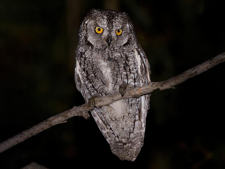 Cyprus Scops-Owl - Lars Petersson