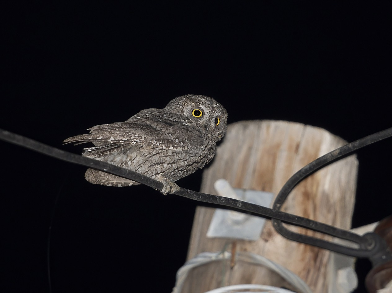 Cyprus Scops-Owl - Marco Valentini