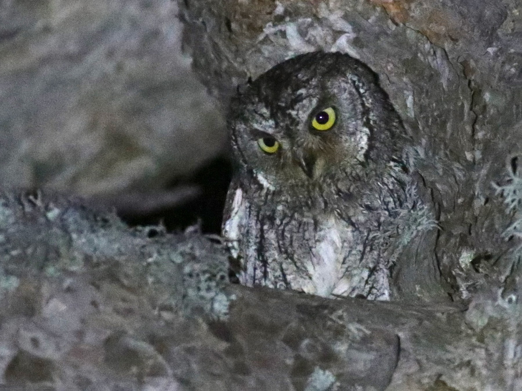 Cyprus Scops-Owl - Anton Liebermann