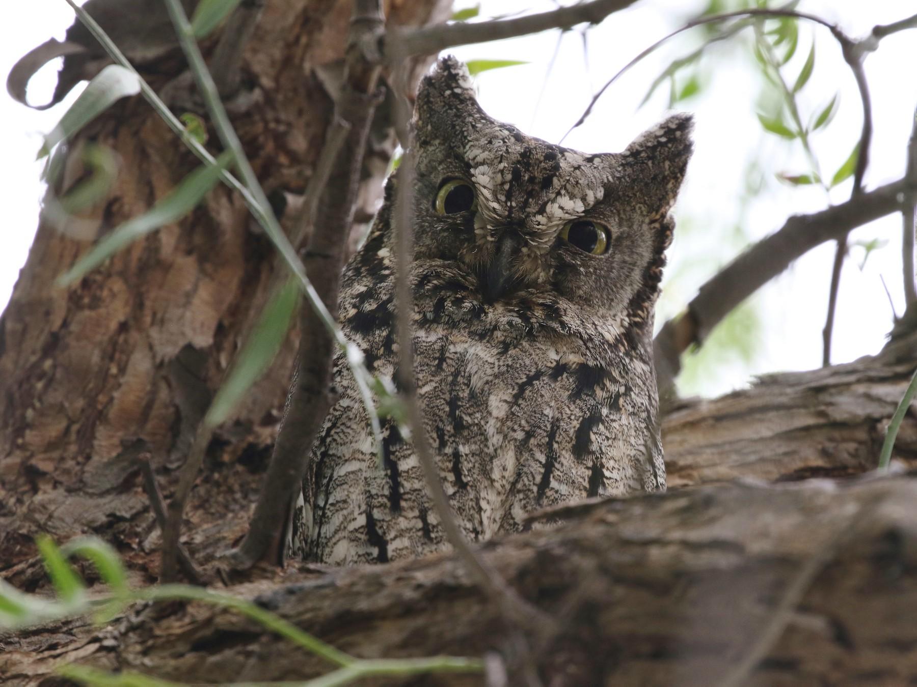 Cyprus Scops-Owl - John Martin
