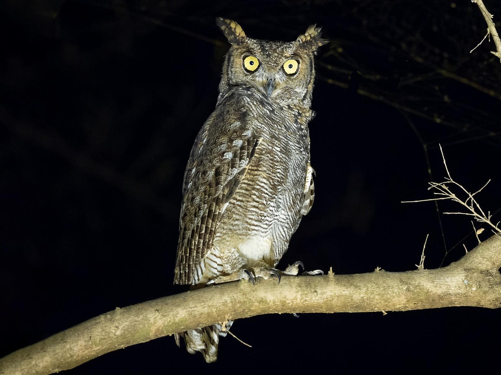 Arabian Eagle-Owl - Matti Rekilä