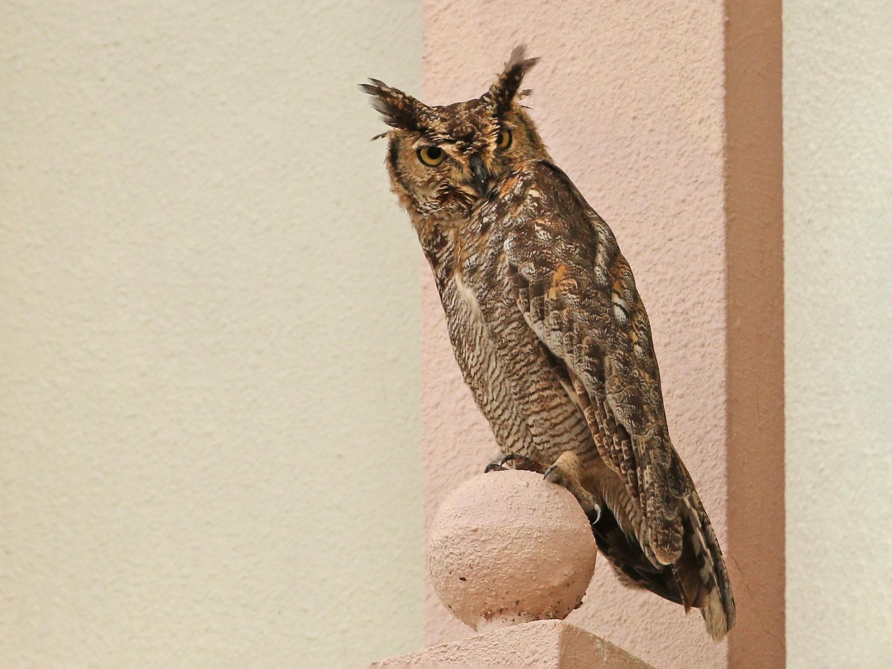 Arabian Eagle-Owl - Khalifa Al Dhaheri