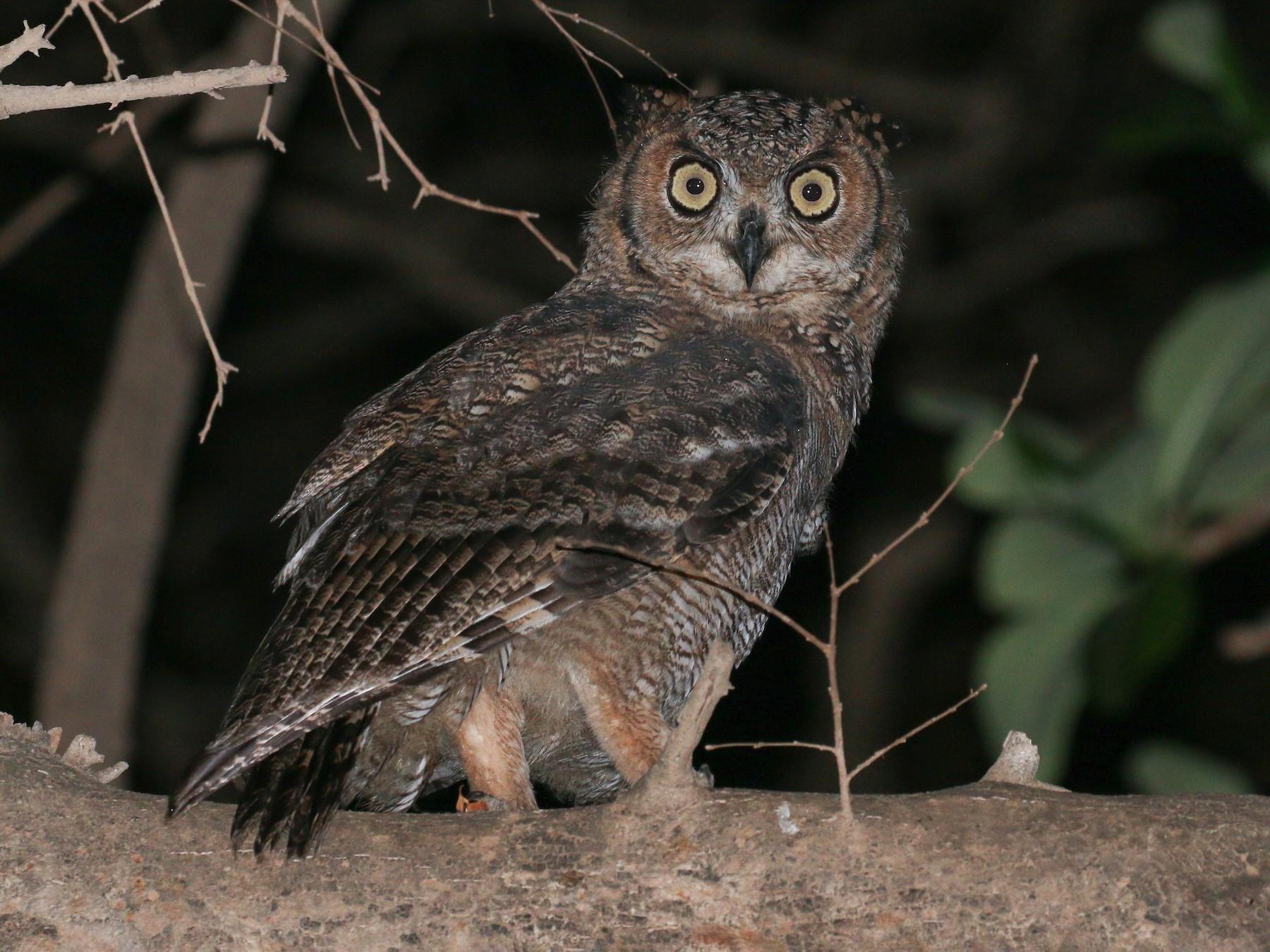 Arabian Eagle-Owl - Tommy Pedersen