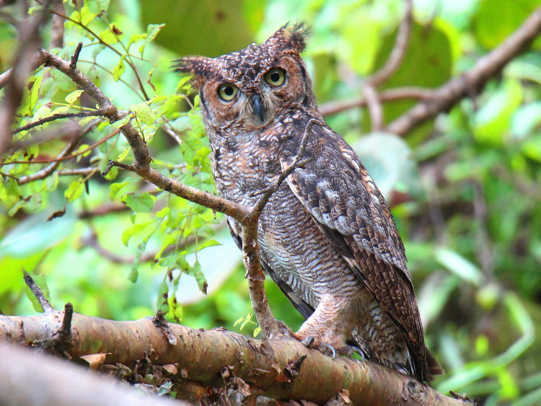 Arabian Eagle-Owl - S S Suresh