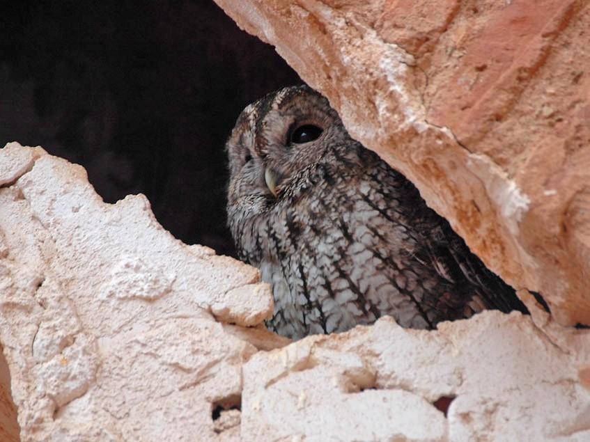 Maghreb Owl - Augusto Faustino