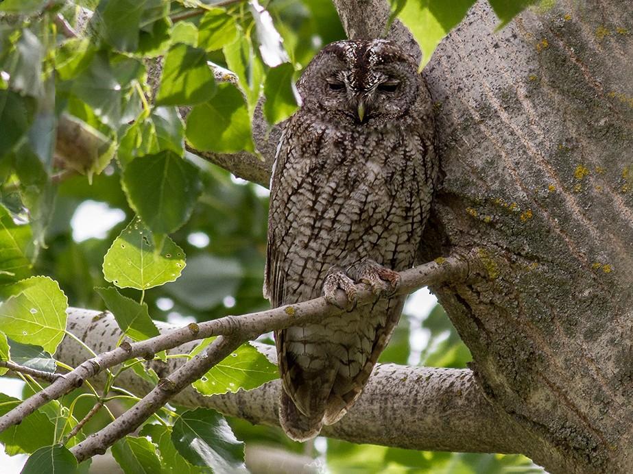 Maghreb Owl - Javi Elorriaga