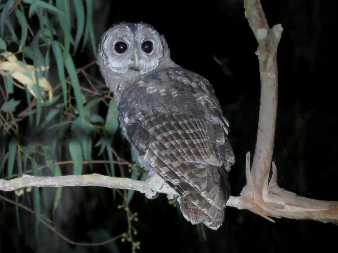 Maghreb Owl - Pedro Fernandes