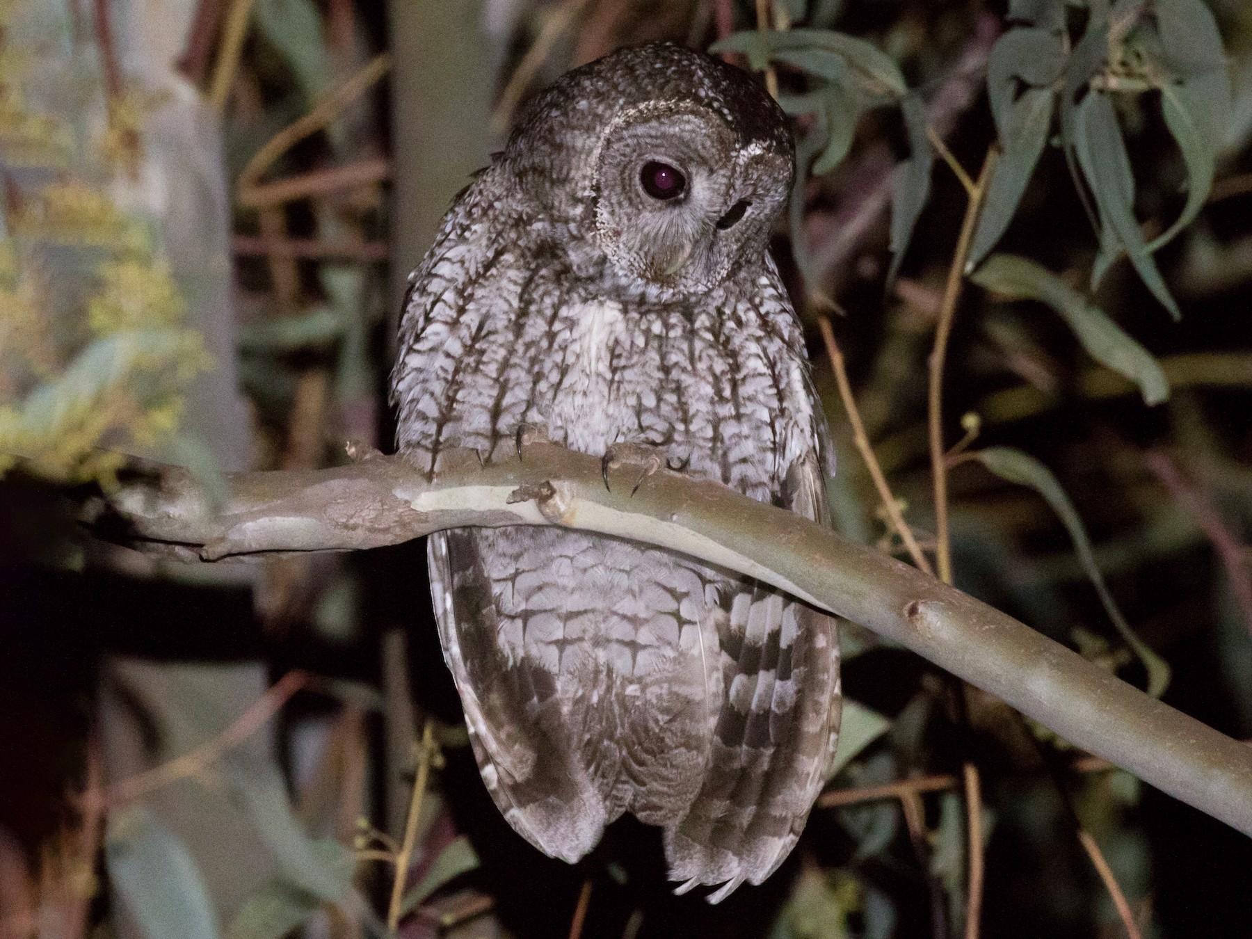 Maghreb Owl - Gary Nunn