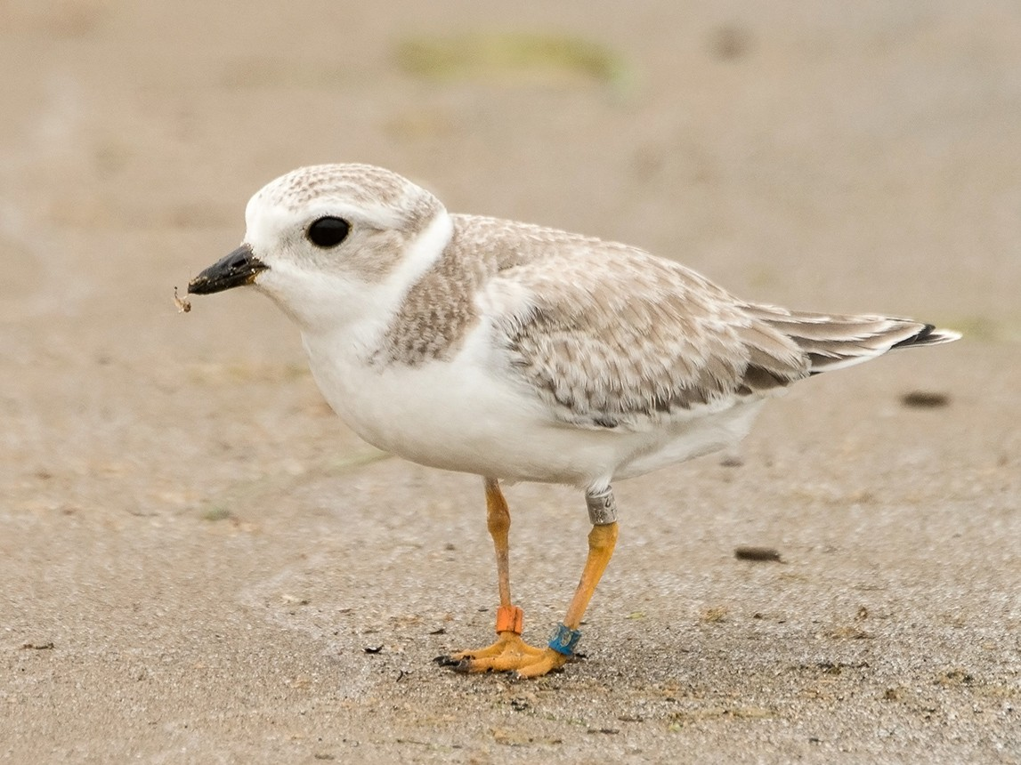 Piping Plover - Sue Barth