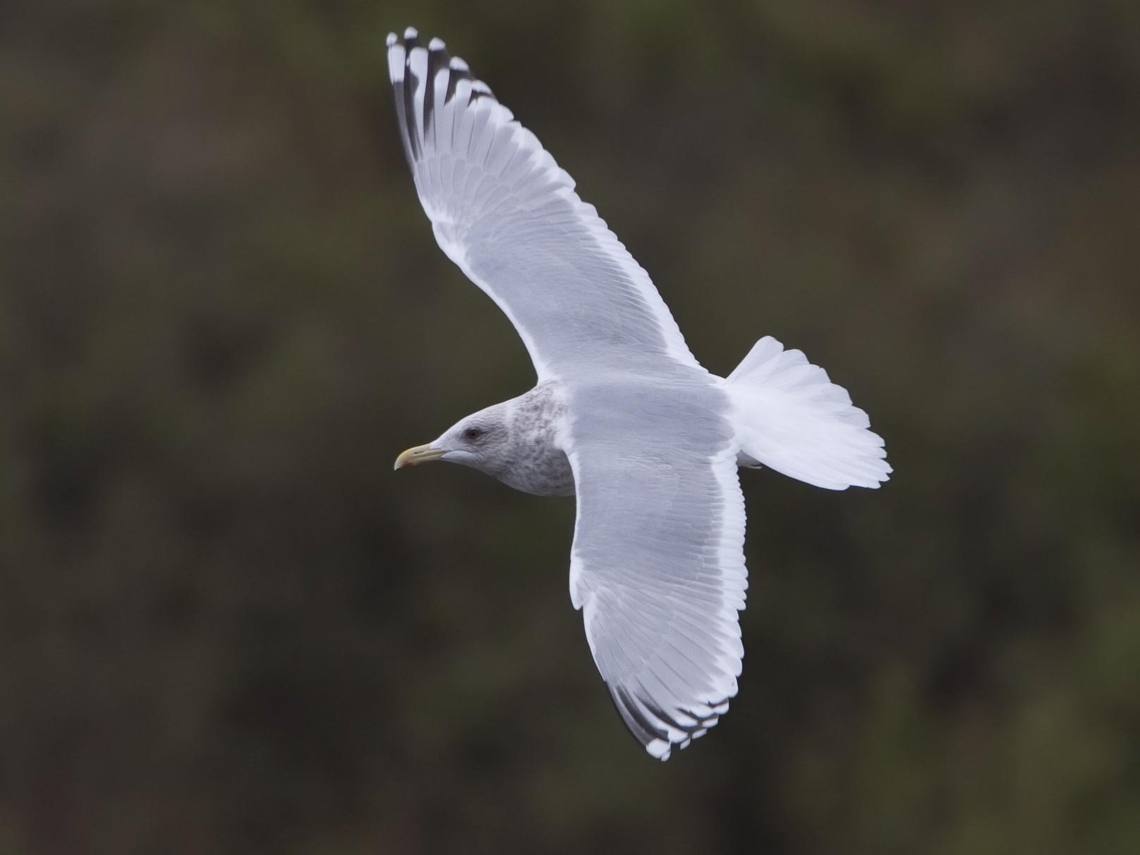 Iceland Gull (Thayer's) - Brian Sullivan