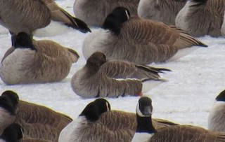 Greater White-fronted Goose, ML34653081