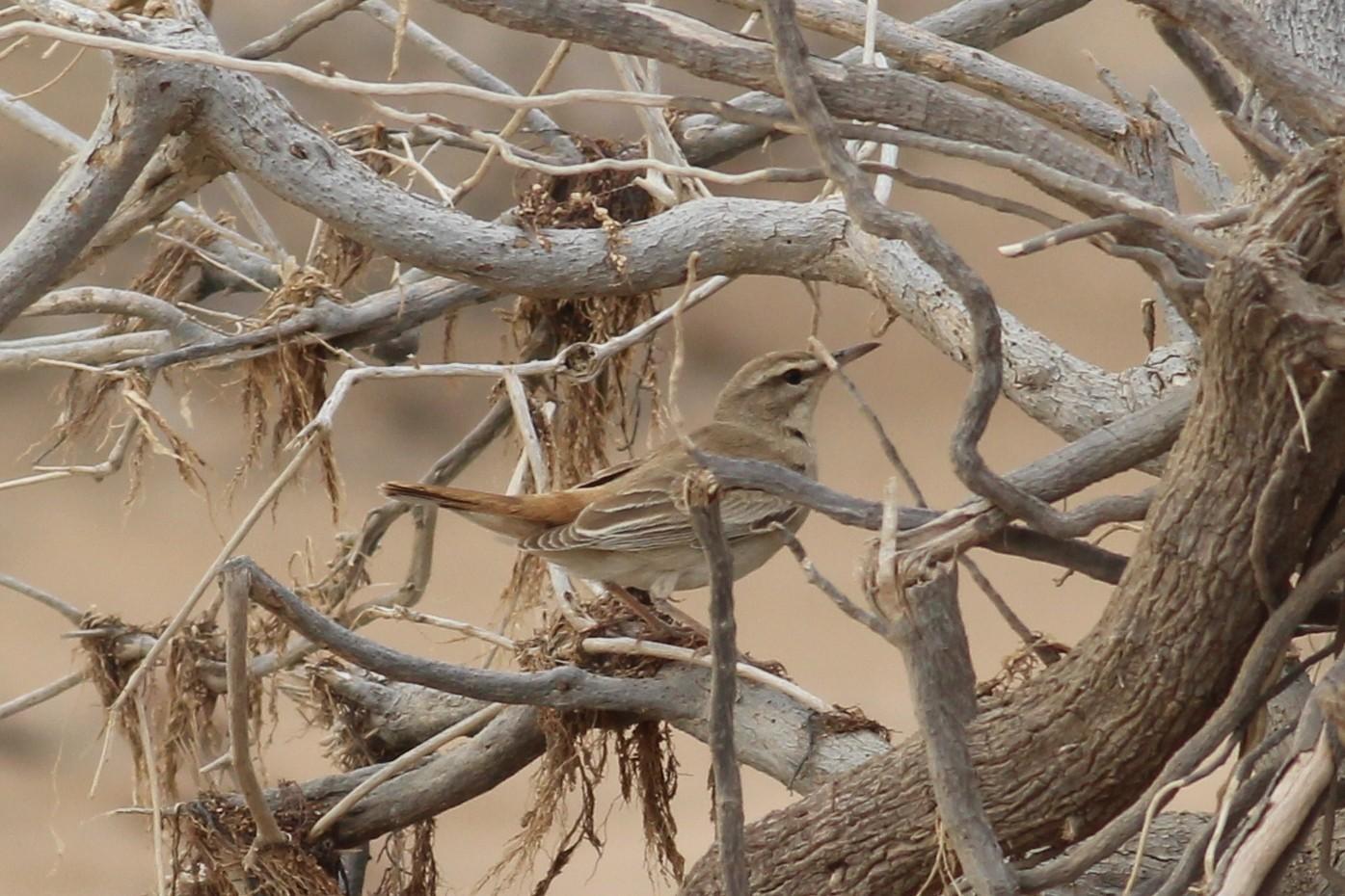 Rufous-tailed Scrub-Robin - Tyler Joyner