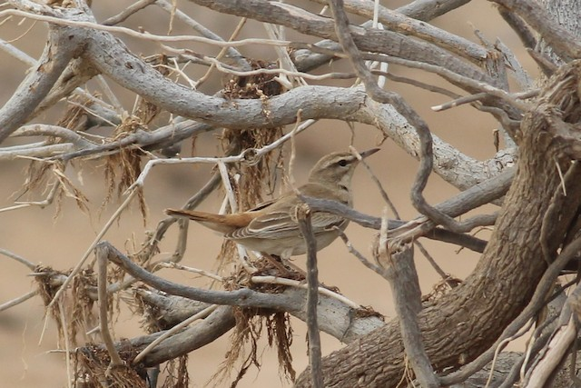 Rufous-tailed Scrub-Robin (African)