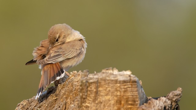 Rufous-tailed Scrub-Robin ML346652741
