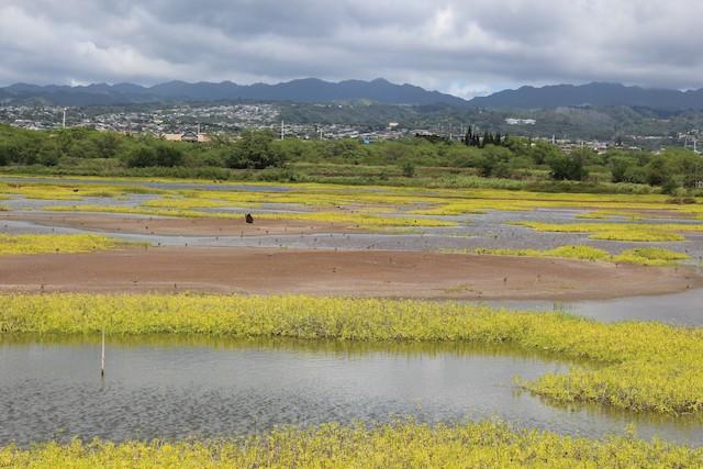 Pacific Golden-Plover