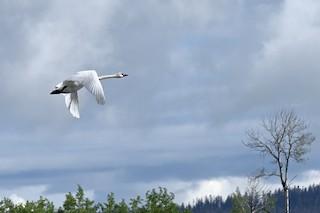 Trumpeter Swan, ML347409231