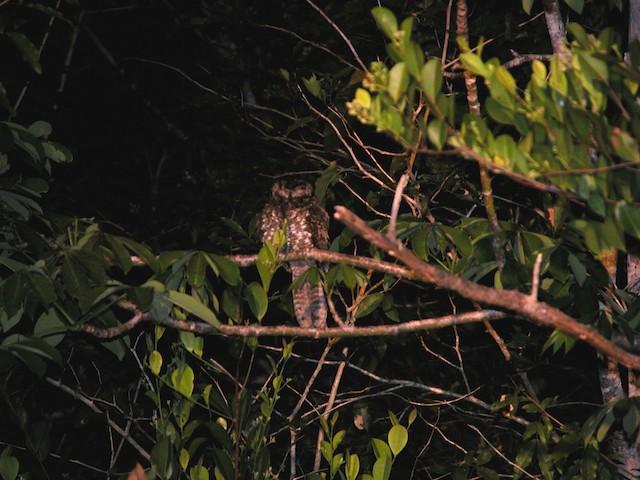 Yucatan Nightjar
