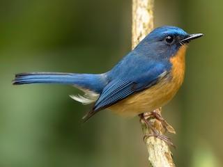 - Hill Blue Flycatcher