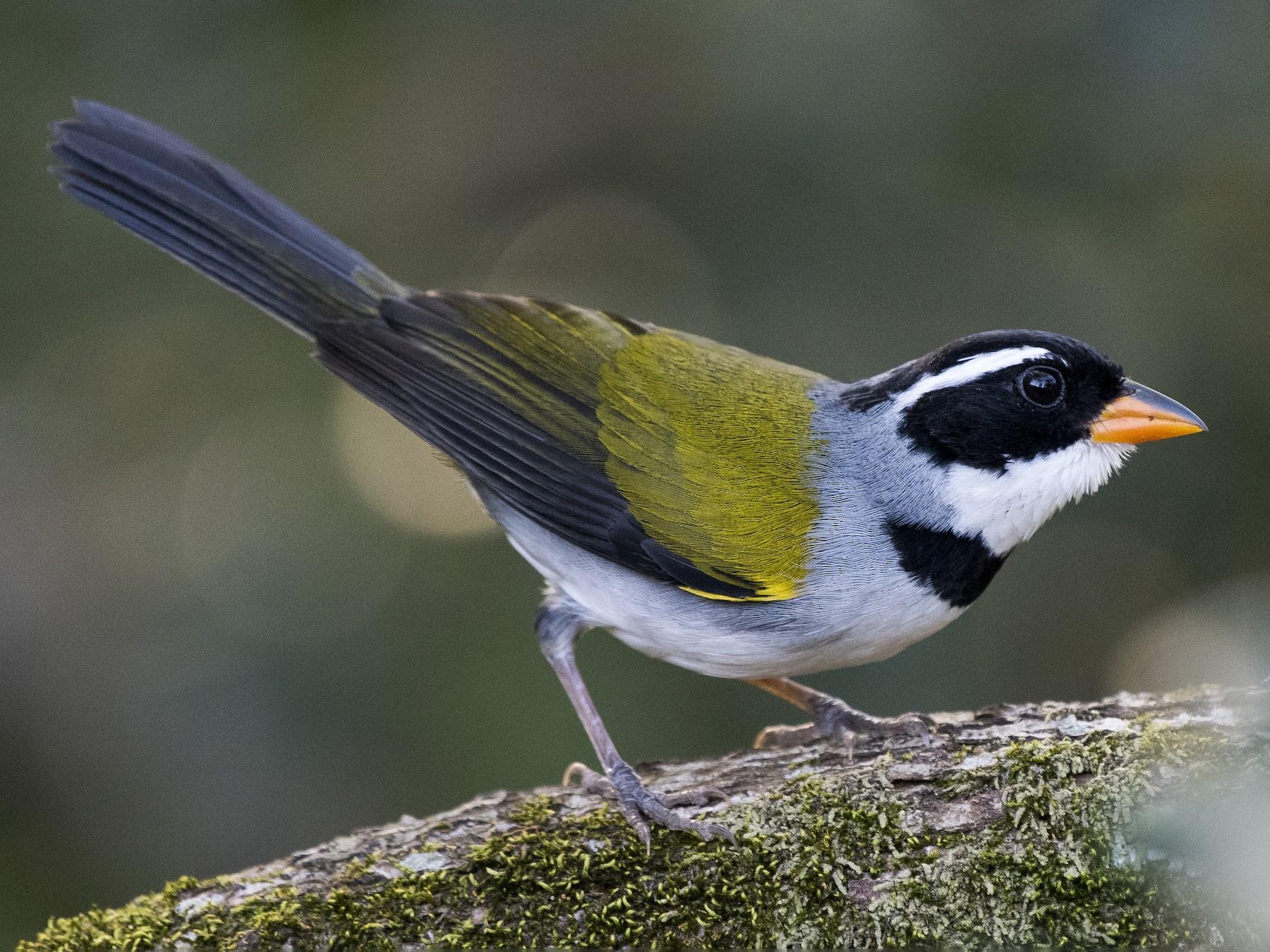 Saffron-billed Sparrow - Luiz Carlos Ramassotti