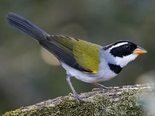 - Saffron-billed Sparrow