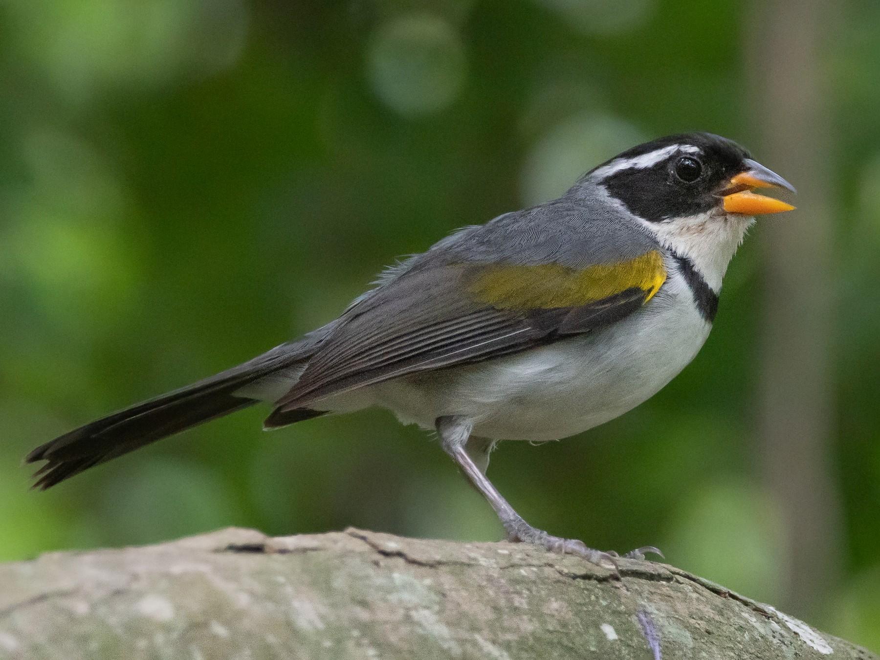 Saffron-billed Sparrow - Pablo Re