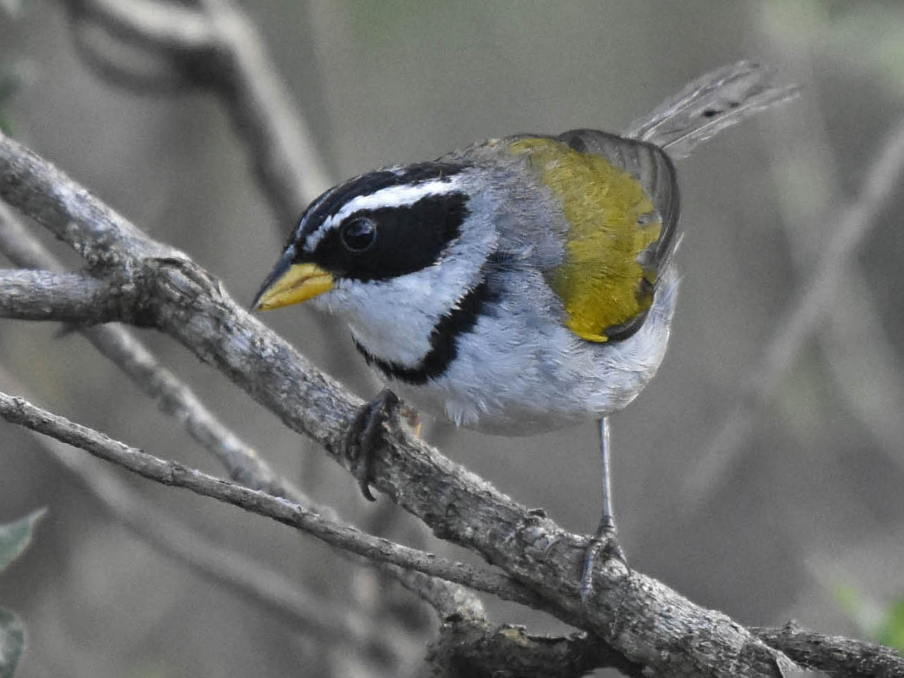 Moss-backed Sparrow - Tini & Jacob Wijpkema