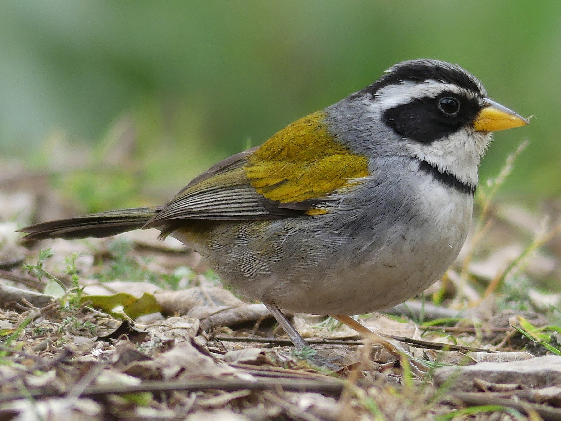 Moss-backed Sparrow - Jorge  Quiroga