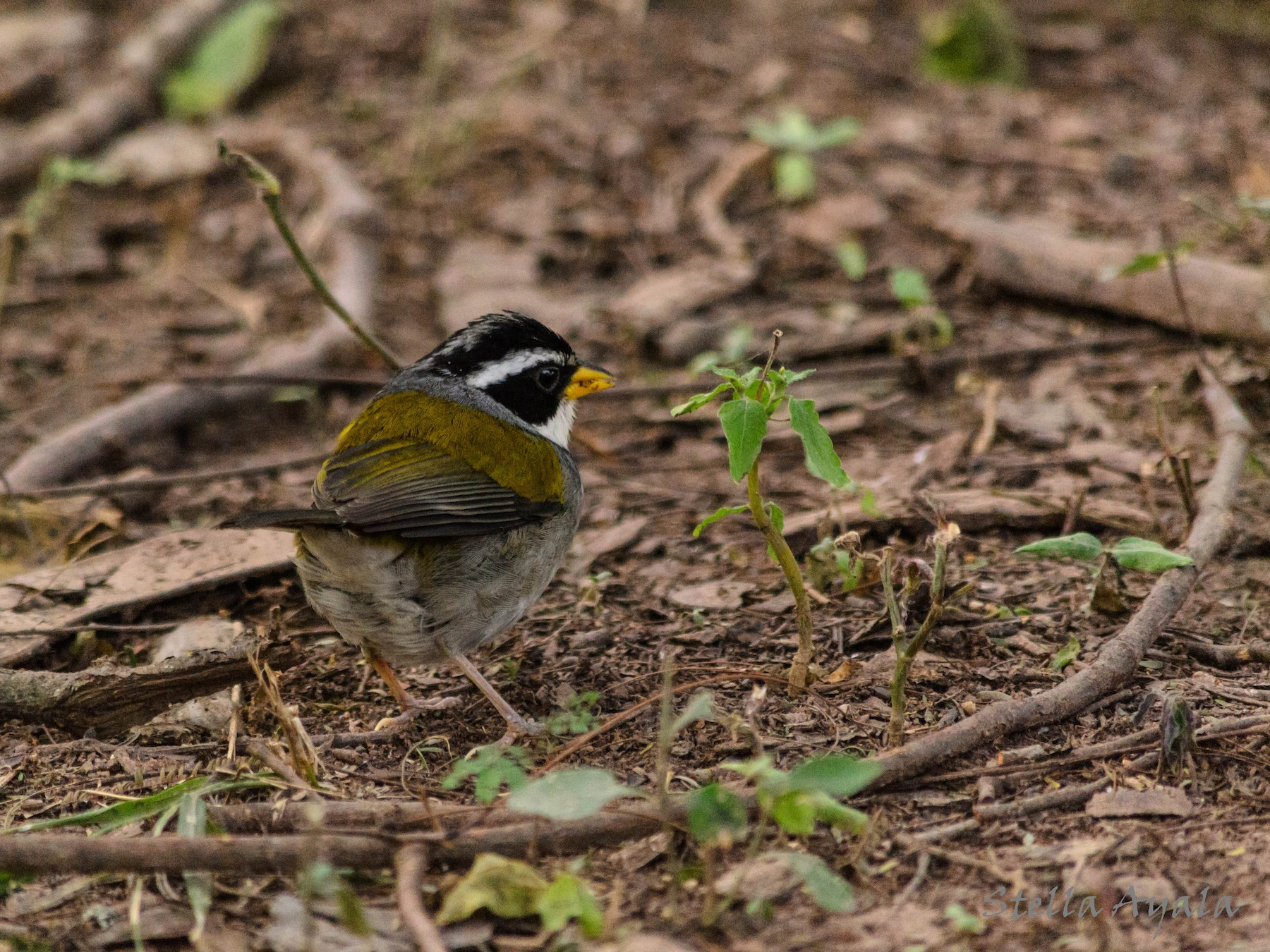 Moss-backed Sparrow - Stella Ayala