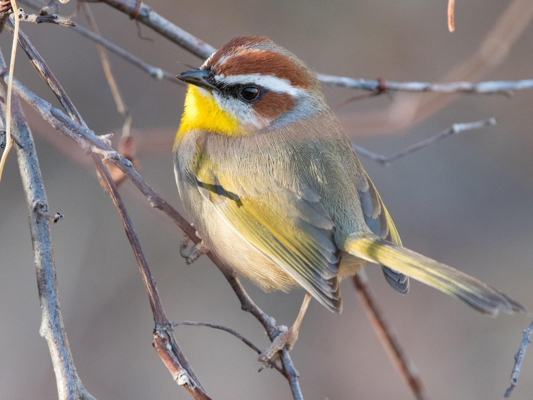 Rufous-capped Warbler - William Higgins