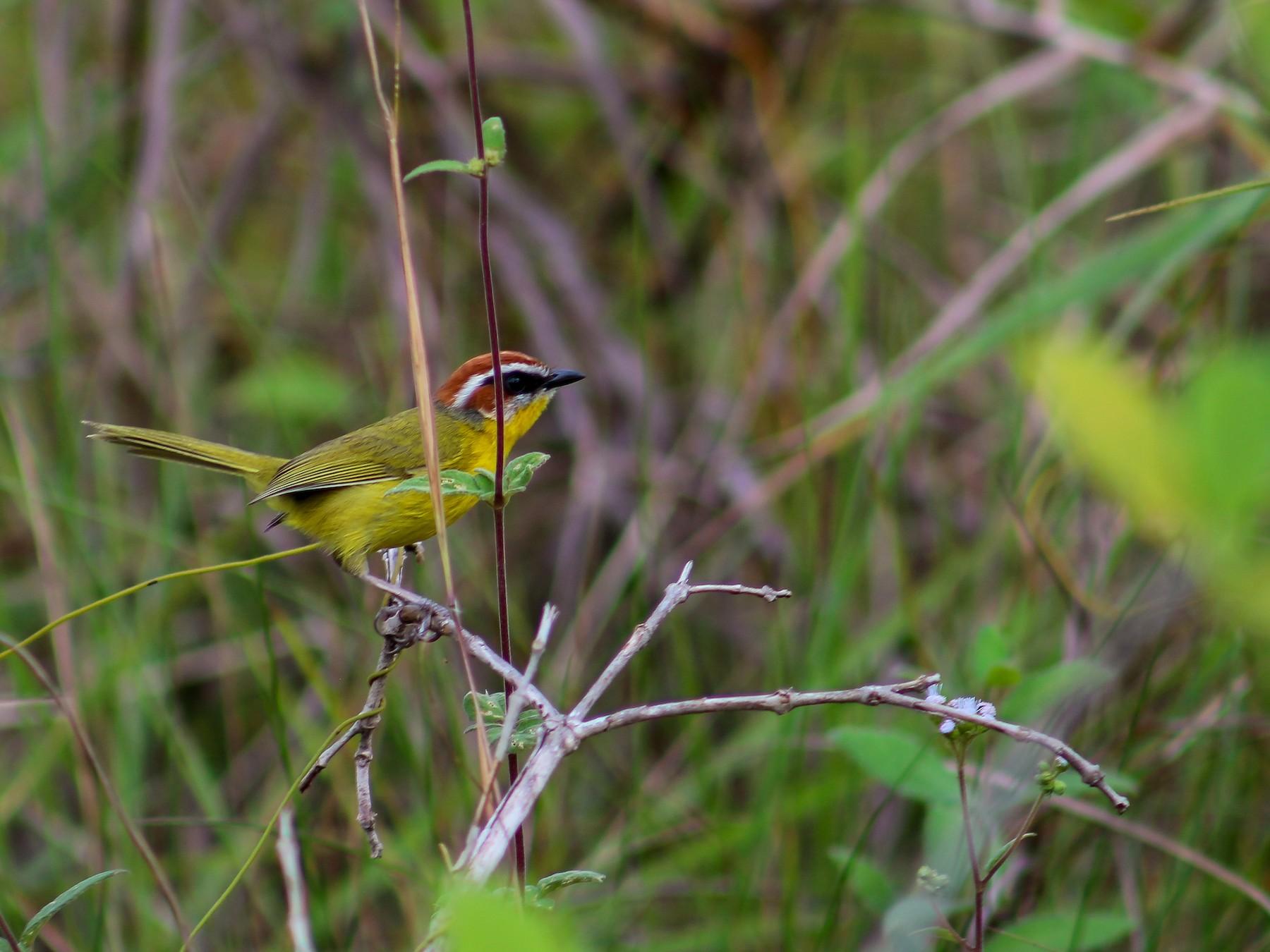 Rufous-capped Warbler - Oscar Cisneros
