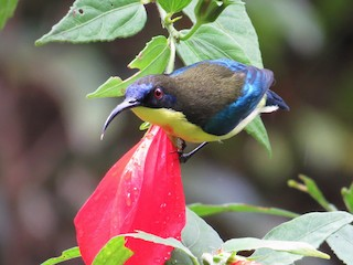 - Mountain Sunbird