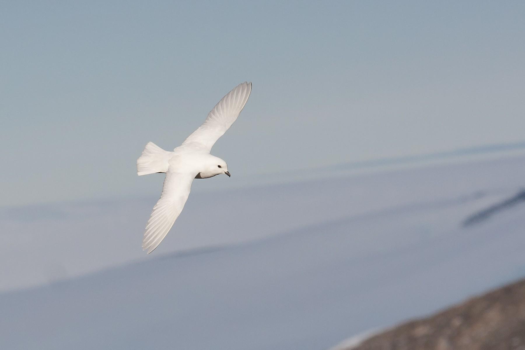 Snow Petrel - Stein Nilsen