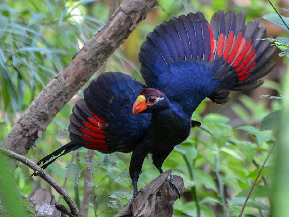 Violet Turaco - Henry Cook